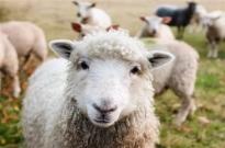 """3万只羊即将进京赶""""烤"""" 蒙古国:希望送给武汉人民"""