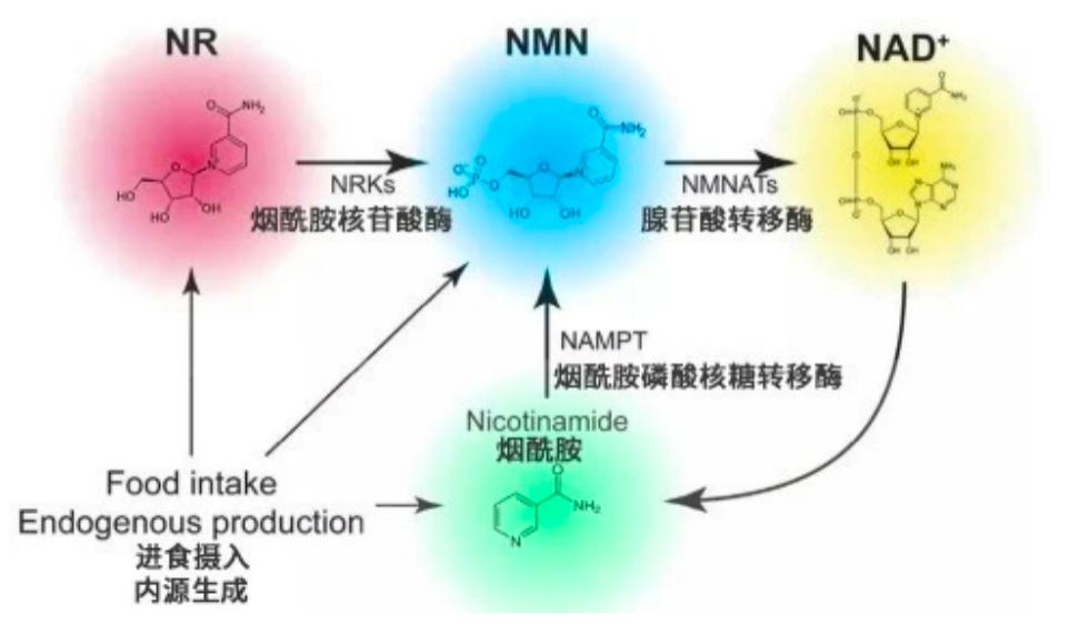 NMN行业趋势分析 金达威为何持续受热捧?