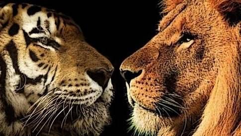 老虎狮子.jpeg